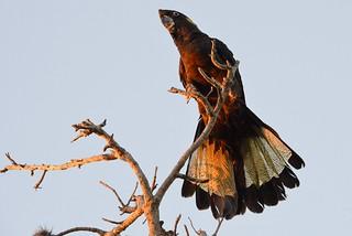 Yellow-tailed Black Cockatoo_0571E (Calyptorhynchus funereus)