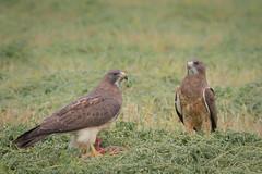 Will You Share? (Amy Hudechek Photography) Tags: swansons hawk raptor nature wildlife dinner prairie dog food prey amyhudechek