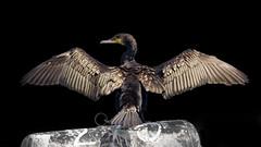 Great Cormorant (Phalacrocorax carbo) (Nemanja Zotovic PHOTOGRAPHY) Tags: cormorant feather bird greatcormorant animal outdoor danube canon eos1dmarkiv 100400 wings beautiful