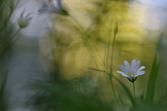 Meadow's Dream 2 (jttoivonen) Tags: nature flower plant bokeh summer detail macro closeup finland creativecommons
