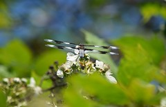 Dragonfly (careth@2012) Tags: nature dragonfly wings wing odonata britishcolumbia