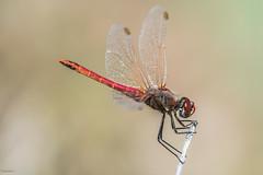 Take a break.... (Siminis) Tags: siminis heraklio crete greece dragonfly break darter macromondays relaxation