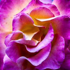 IMG_4144 (Aaron A Baker) Tags: rose analogous colorful macro flower spring purple soft smells