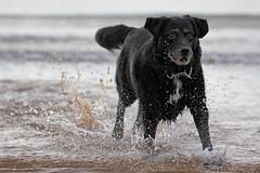 Splash! (Pog's pix) Tags: irvine beach dog pet scotland sea splash fun concentrating poppy black canine seaside cute splashes water coastal playing northayrshire ayrshire splashing