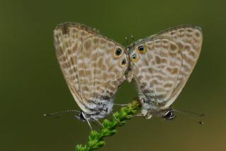 Leptotes pirithous mating