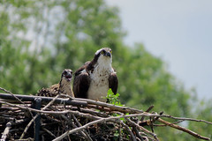 An Osprey with its chick nested along the Iroquois Locks in Iroquois, Ontario (Ullysses) Tags: osprey iroquoislocks stlawrenceseaway stlawrenceriver nest chicks iroquois ontario canada summer été pandionhaliaetus bird hawks raptor