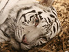 White Tiger (Standardwing) Tags: whitetiger pantheratigristigris pantheratigris downtownaquarium felidae