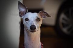Palitão (crismdl) Tags: whippet galgo cão dog cachorro perro chien
