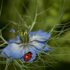 Coccinelle et nigelle *-*--+° (Titole) Tags: ladybug ladybird nigellededamas nigella titole nicolefaton red blue green 15challengeswinner