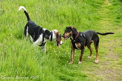 wee hound development 5 (RCB4J) Tags: ayrshire jakob loudonhill rcb4j ronniebarron scotland sonydt1870f3556 sonyilca77m2 art babygrace countryside dobermanterrier dogs eastayrshire irvinevalley photography play playing running siameselurcher trailhound trailie dogphotography houndphotography explore explored