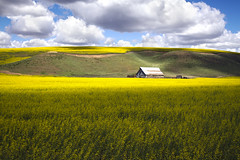 Canola Fields on the Palouse (Jared Wilson) Tags: palouse steptoe butte state park washington sunrise hills farm
