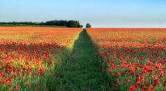 Obligatory Poppy Shot (jactoll) Tags: fifield oxfordshire cotswolds poppy poppies poppyfield poppyred flowers landscape sony a7ii 70200mmf4 jactoll