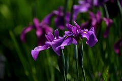 Seasonal color : Early summer (Colorful-wind) Tags: 2017 6月 color colorful flower fujifilm fukuoka iris japaneseiris light lightandshadow plant purple xt1 初夏 夜宮公園 福岡 花菖蒲
