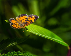 Low Down (Portraying Life, LLC) Tags: dbg6 da3004 hd14tc k1 michigan pentax ricoh unitedstates butterfly closecrop handheld nativelighting skipper