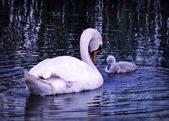 Practising the perfect Bow (pianocats16) Tags: swan cygnet mom cute water lake