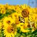 Sunflowers-July-2017-TBA_2625