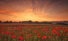 Poppy Explosion (Captain Nikon) Tags: poppies sunrise morning explosion colours landscapephotography landscape leicestershire spectacular nikond7000 sigma1020mmf4