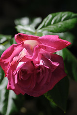 20170611_Jardins_Secrets_Vaulx_Fl (4 sur 23) (calace74) Tags: rhonealpes fleurs france jardin jardinssecrets macro