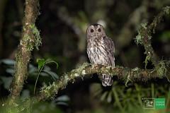 Búho café/Mottled Owl (Jorge De Silva R) Tags: mottled owl aves de chiapas legado verde jorge silva birds birdwatchers birding búho