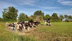 Cows in Groninger Landschap,Groningen,the Netherlands,Europe (Aheroy) Tags: cows koeien kudde herd groningen landscape farm landschap groningerlandschap rural weiland meadow hek fence vacas vaches kühe 奶牛 nǎiniú vee cattle pinken