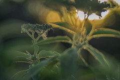 golden beard (gnarlydog) Tags: refittedlens russianlens adaptedlens ro5011100mmf2 projectionlens nature backlit sunset plant flowers warmlight bokeh shallowdepthoffield dreamy painterly rimlighting contrejour green