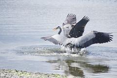 Great Blue Heron (Chatham Sound) Tags: fauna bird winged greatblueheron waders waterbirds ardeaherodias canada britishcolumbia vancouverisland colwood esquamaltlagoon territorial nikon d7200