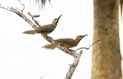 Fernandina's Flicker _ Colaptes fernandinae (Kremlken) Tags: endemic flickers woodpeckers zapata birds birding cuban pairs mating endemics species