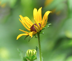 Rudbeckia (mahar15) Tags: summer yellow flower nature asteraceae outdoors flowers plants bloom rudbeckia plant flowersplants blackeyedsusan rudbeckiahirta yellowflower