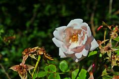 IMG_0713 (jaybluejeans94) Tags: nature flower plant flowers rose wales summer macro amateur