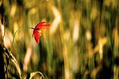 Poppy Bokeh (KwyjiboVanDeKamp) Tags: fujifilm fuji xe2 zenit helios 44m6 58mmf2 m42 novoflexlensadapternovoflexobjektivadapter edited bearbeitet jpeg zonerphotostudio18 poppy mohn bokeh nature natur rye roggen flower blume red rot