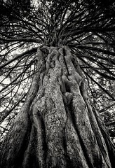 Give Me Shelter (GLKPhotos) Tags: old tree nature northernireland ulster blackandwhite monochrome leaves bark branches aged texture contrast lightandshade shadows evening