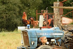 Chicken Run (cb|dg photo) Tags: bird farm cock animal red hen animals feathers poultry fowl birds nature chickens beak cockerel feather hens california grass country barnyard pennyroyalfarm rooster tractor roadtrip boonville