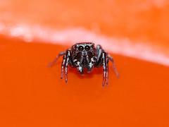 Heliophanus tribulosus (mâle) (Didier Auberget Photographie) Tags: heliophanustribulosus macro arachnida arachnide salticidae salticide saltique araneae heliophanus araneomorphae aranéomorphe araignée spider jumpingspider araignéesauteuse