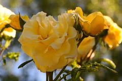 Ohne Worte (deta k) Tags: blumen blüten flora flowers natur rose macro nikond7100 nikkor105mmf28micro sooc