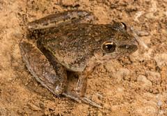 Bumby Rocket Frog (Litoria inermis) (JLoyacano) Tags: australia bumbyrocketfrog bumbyrocketfroglitoriainermis frog jacobloyacano amphibian animal anura anuran litoria litoriainermis queensland rocketfrog wildlife