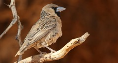 Sociable Weaver Bird (12) (Richard Collier - Wildlife and Travel Photography) Tags: wildlife naturalhistory namibia southernafrica africa birds sociableweaverbird philetairussocius ngc naturethroughthelens