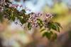 24.05.2017 (Polly Bird Balitro) Tags: cherry hanami flowers tree spring may2017 helsinki suomi finland nature nikondf nikonaf135mmf2dc diary blog pollybalitro