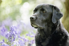 Strong. (Marcus Legg) Tags: marcuslegg max black blacklabradorretriever bokeh labrador lab retriever pet petportrait animal bluebells fur outdoors outside woods woodland canon eos 1dx ef70200mmf28lisii