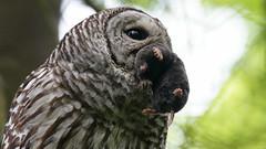 Barred Owl with Mole (photosauraus rex) Tags: owl barredowl mole strixvaria bird vancouver bc canada hooter hooterowl woodowl blackeyedowl shotinthewild nonzoo nonbaited dinnerforowlets raptor