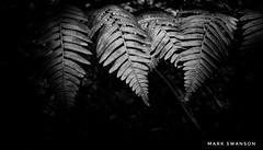 Ferns (mswan777) Tags: fern plant forest macro michigan outdoor nature nikon d5100 stevensville texture pattern black white monochrome ansel summer detail sigma 1020mm light