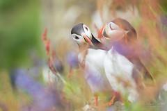 Rêveries (Fabien Serres) Tags: alcidés atlanticpuffin charadriiformes fraterculaarctica macareuxmoine oiseau bird