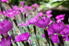 A Flock of Flowers (tquist24) Tags: indiana nikon nikond5300 outdoor bokeh color flower flowers garden nature purple spring upclose