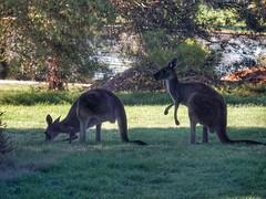 Western grey kangaroos (sander_sloots) Tags: western grey kangaroos roo heirisson island perth kangaroo kangoeroes westelijke grijze reuzenkangoeroe