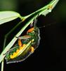 Metallic green and orange Sauropus bug Lampromicra senator was philia sp Scutelleridae Airlie Beach P1020363 (Steve & Alison1) Tags: metallic green orange sauropus bug lampromicra senator was philia sp scutelleridae airlie beach