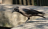 Cornacchia Grigia // Corvus Cornix (Christian Papagni | Photography) Tags: segrate lombardia italia it cornacchia grigia corvus cornix laghetto di milano due canon eos 7d mark ii ef100400mm f4556l is usm