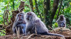 The family (Elespics) Tags: bali indonesia monkeys nature