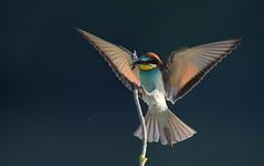 Guêpier d'europe (guiguid45) Tags: nature sauvage oiseaux bird loire loiret d810 nikon 500mmf4 méropidé guêpierdeurope affût meropsapiaster coraciiformes europeanbeeeater