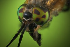 "Horsefly • <a style=""font-size:0.8em;"" href=""http://www.flickr.com/photos/145035524@N03/35289802365/"" target=""_blank"">View on Flickr</a>"
