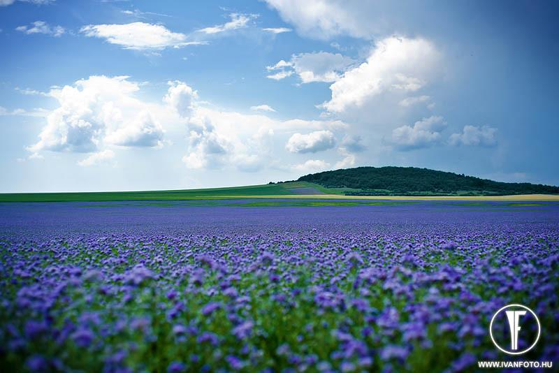 170620_004_purple_flower