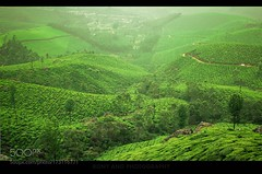 Untitled (HoustonHVAC170) Tags: field landscape nature tree grass india canon valley agriculture hill rural farm tea plantation hayfield munnar cropland t3i 50mm18 no person kerala south leafs